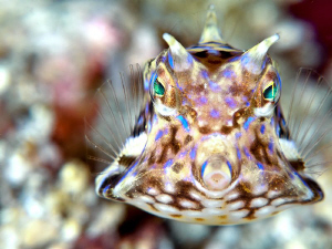 Cowfish in Komodo by Stephen Holinski 